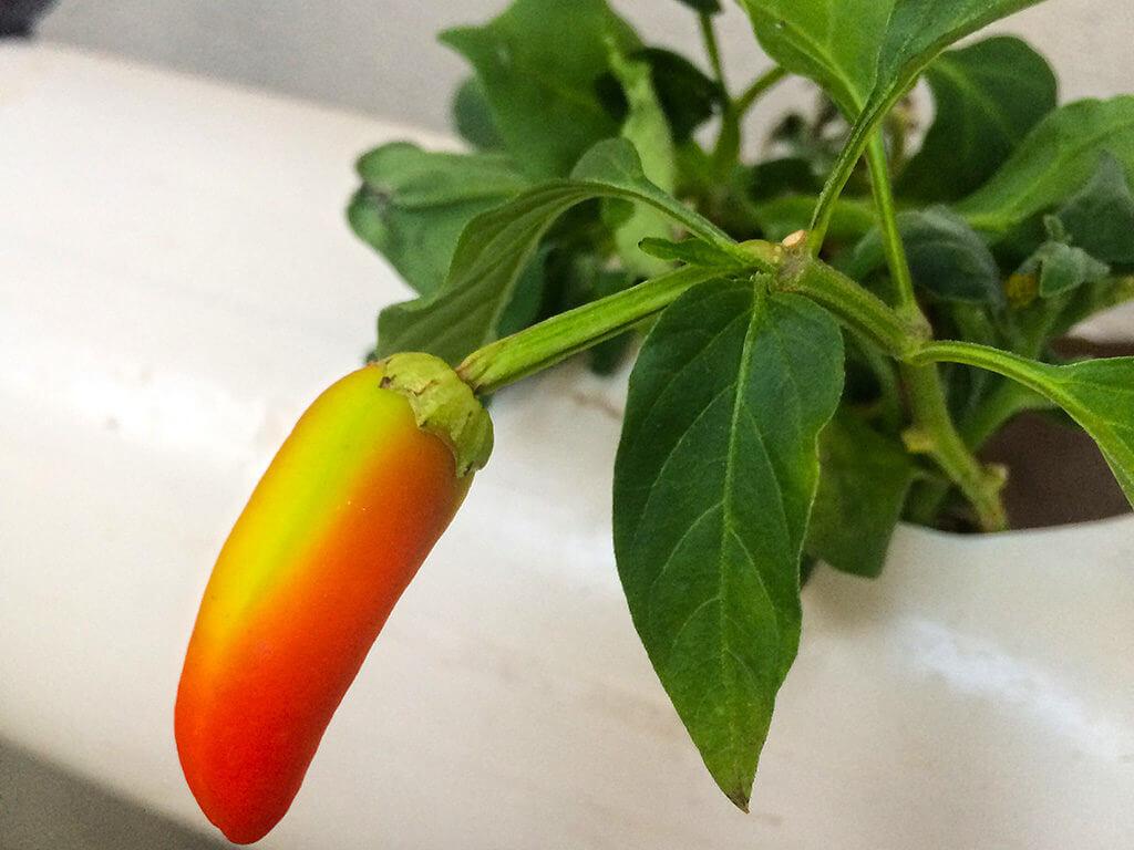 הידרופוניקה ירקות הבנרו