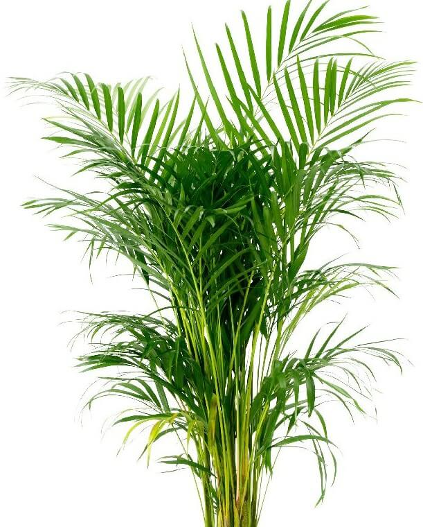 דקל אריקה-(Areca palm(Dypsis lutescens- פורמלדהיד, קסילן וטולאן.