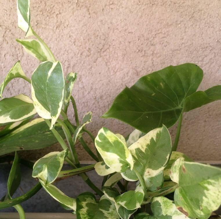 פוטוס הזהב- (Devil's ivy, Money plant (Epipremnum aureum- בנזן, פורמלדהיד, קסילן וטולואן.