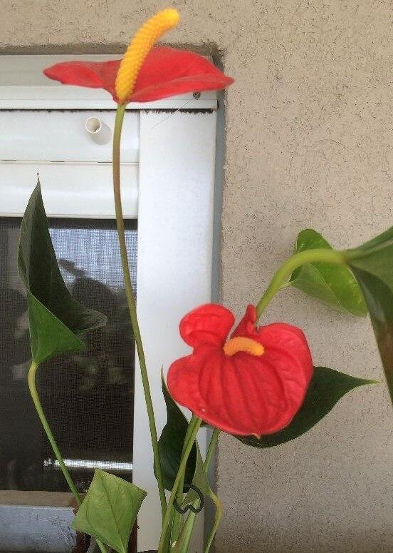 אנטוריום- -(Flamingo lily(Anthurium andraeanumאמוניה, פורמלדהיד, קסילן וטולואן.
