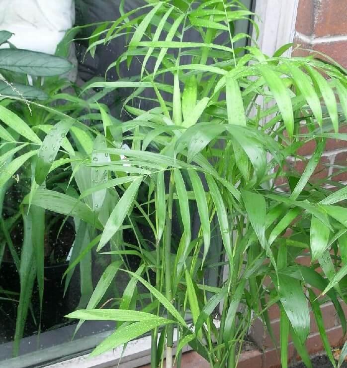 דקל חמדוריאה- (Bamboo palm(Chamaedorea seifrizii- פורמלדהיד, קסילן וטולואן.