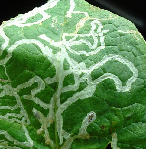 Leaf_miner_damage