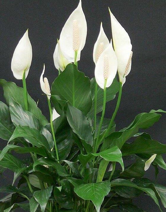 ספטיפיליום-(Peace lily(Spathiphyllum 'Mauna Loa'- אמוניה, בנזן, פורמלדהיד, טריכלורואתילן, קסילן וטולואן. (בעל זיקה לכל הגזים הרעילים).